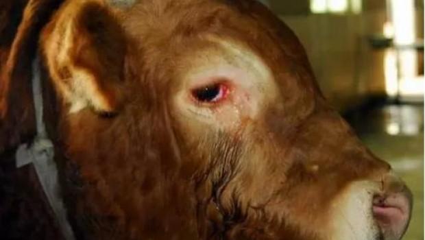 FOTO: Llora por su vida un toro en el matadero