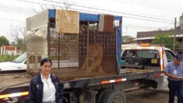 Leona que atacó a una niña en circo de Veracruz es asegurada por PROFEPA