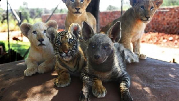FOTOS: Bebés de hiena, león y  tigre, son los mejores amigos