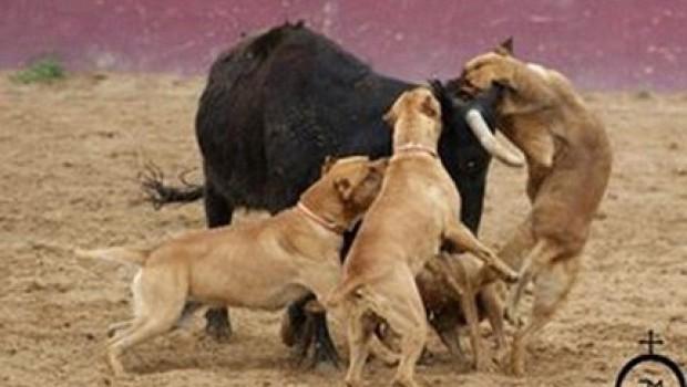 Publica torero fotos de perros pitbull atacando a un toro