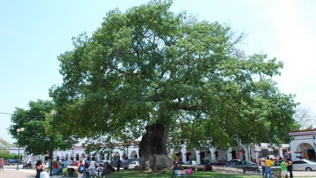 Representa la ceiba historia y cultura en Chiapas