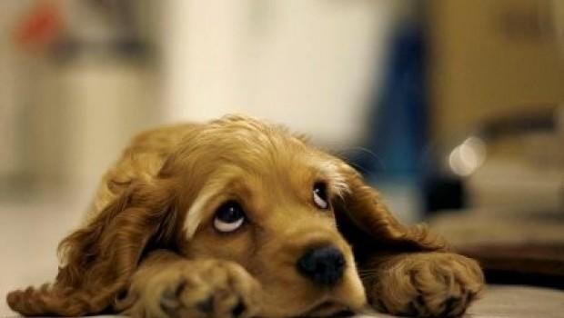 Los perros pueden sufrir depresión