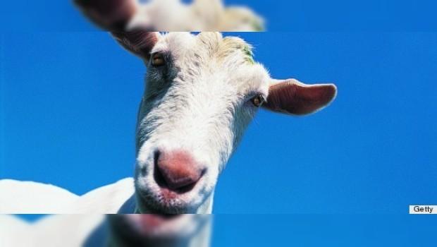 Sexo con cabras, un derecho constitucional: hombre de Wisconsin