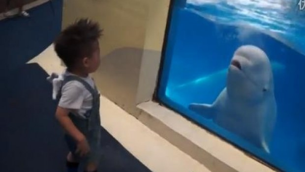 VIDEO: Ballena beluga humilla a niño chino