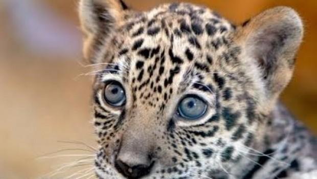 Guardias matan a un cachorro de jaguar en hotel Riviera Maya