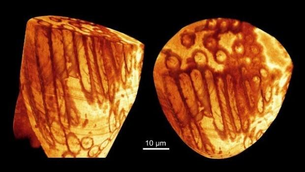 Hallan esperma gigante fosilizado de 17 millones de años; es el más antiguo hasta ahora