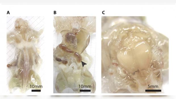 Científicos crean ratones transparentes