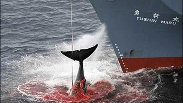 A pesar de restricciones, Japón prevé iniciar caza de ballenas en 2015
