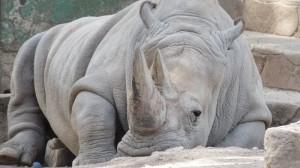 Sólo 6 ejemplares de rinoceronte blanco quedan en el mundo